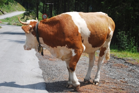 cow going over the street