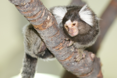 Callithrix jacchus monkey on a bole Stock Photo - 16761220