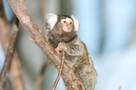 confiding: Callithrix jacchus monkey on a bole Stock Photo