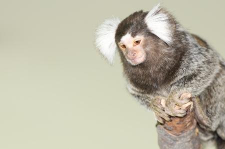 trusting: Callithrix jacchus monkey on a bole Stock Photo