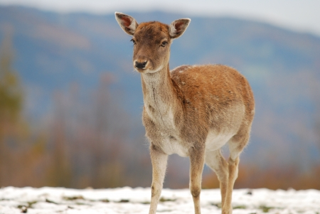 lonesome young deer in winter Stock Photo - 17024293
