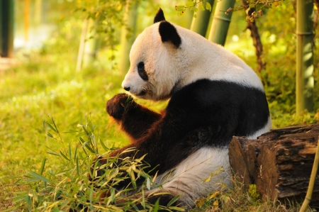 big panda sitting on the forest floor eating bamboo Stock Photo
