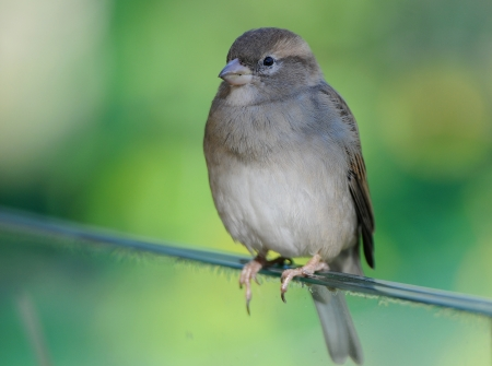 confiding: house sparrow on a soft colorful background
