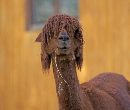 alpaca comer heno photo