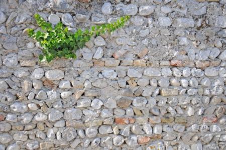 ivy growing on a brick wall Archivio Fotografico