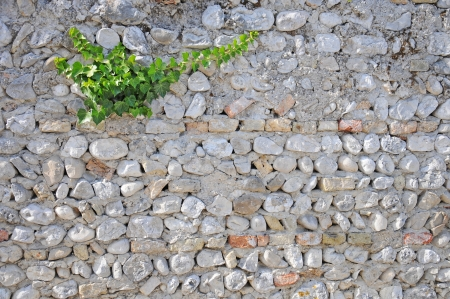 ivy growing on a brick wall photo