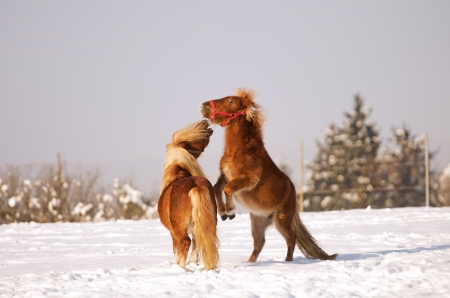 two horses playing in the snow photo