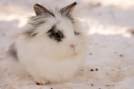 white rabbit sitting in the snow photo