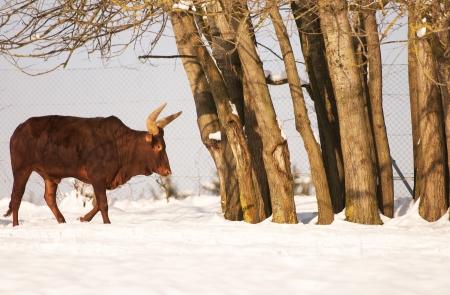 cattle grid: bullock in winter