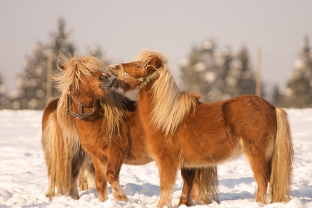 headcollar: two horses playing in the snow