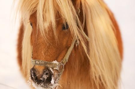 headcollar: portrait of a Haflinger horse