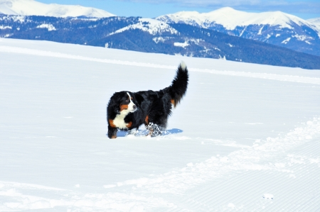 Bernese mountain dog in the mountains in winter Stock Photo
