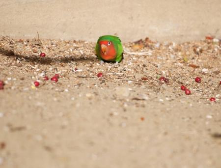 suelo arenoso: loro en el suelo comiendo bayas