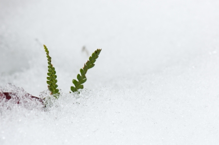 green fern leaves growing out of the snow photo