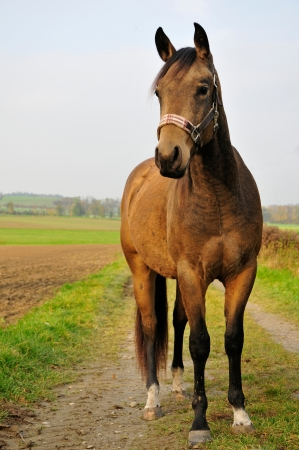 American Quarter horse Stock Photo