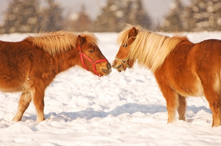 headcollar: two horses standing in the snow and sniffing each other