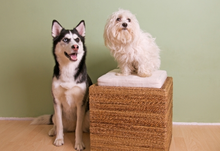 malteser dog sitting on a bamboo stool - husky with different colored eyes sitting beside - studio shot