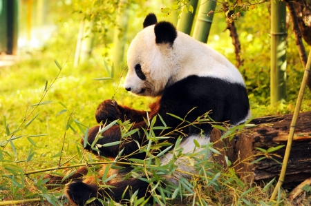 big panda sitting on the forest floor eating bamboo Stock Photo - 18347910