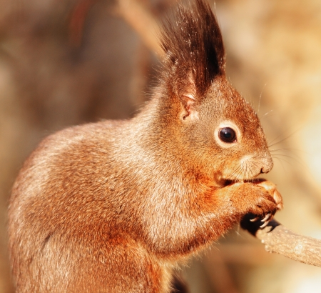 confiding: squirrel eating nuts Stock Photo