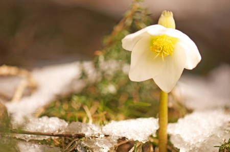 white Chiristmas rose growing out of a snowy forest floor