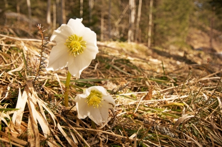 white christmas roses in the forest photo