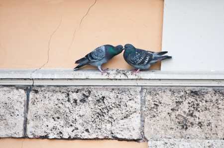 kissing pigeons on a cornice photo