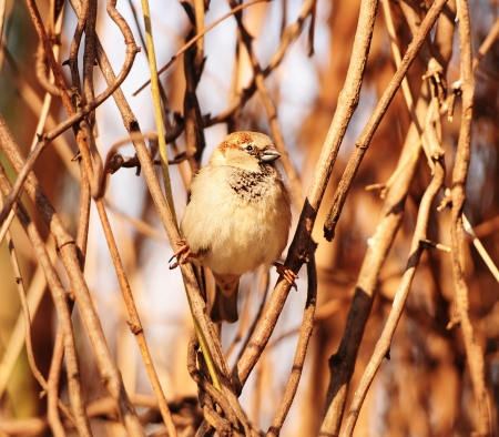 brushwood: house sparrow sitting in the brushwood Stock Photo