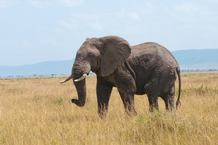 adult kenya: side view of an elephant standing in the grass