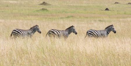 three zebras in the savannah going in a row