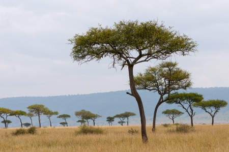 umbrella acacias in the savannah of masai mara in kenya Stock Photo