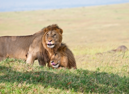 snuggle: two snuggling male lions in the national park in kenya masai mara