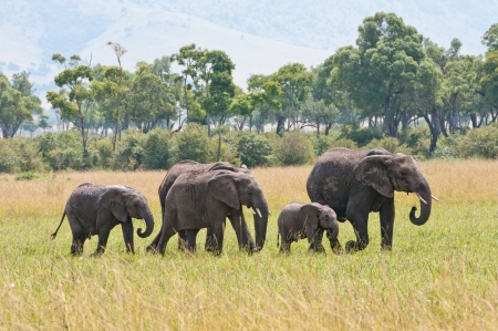 elephant family walking in the national park in kenya masa mara Stock Photo