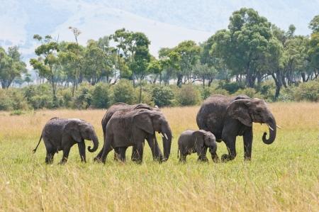 elephant family walking in the national park in kenya masa mara Stock Photo