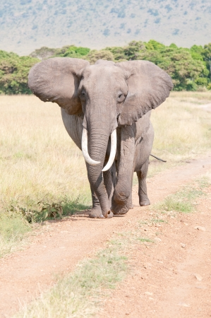 elephant walking on the road in the national park in kenya masa mara