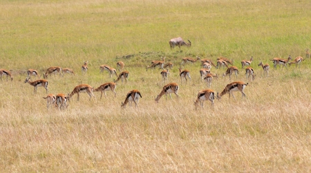 grazing thomson gazelles in the national park in kenya masai mara photo