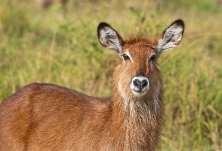 portrait of a female waterbuck photo