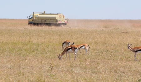 thomson gazelles in front of a tanker in the savannah of kenya - masai mara national park photo