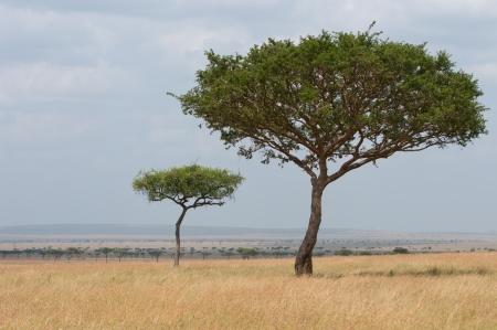 umbrella acacia in the savannah of kenya - masai mara national park
