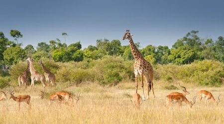 giraffes and impalas grazing in the savannah in kenya - national park masai mara