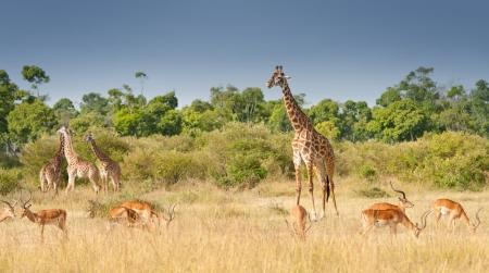giraffes and impalas grazing in the savannah in kenya - national park masai mara