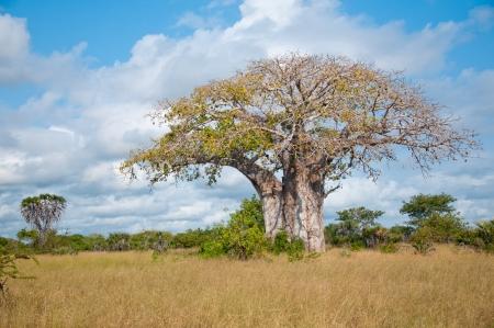 huge baobab tree in tanzania - national park saadani Archivio Fotografico