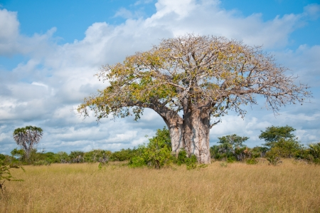 huge baobab tree in tanzania - national park saadani Stock Photo