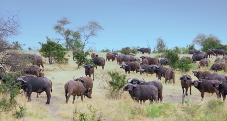 herd of african buffalos in the nationalpark selous game reserve in tanzania