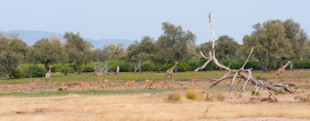giraffes and impalas grazing in the national park in tanzania - selous game reserve photo
