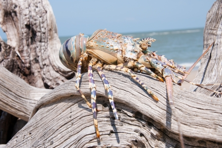 spiny lobster: spiny lobster on a root - indian ocean in tanzania saadani