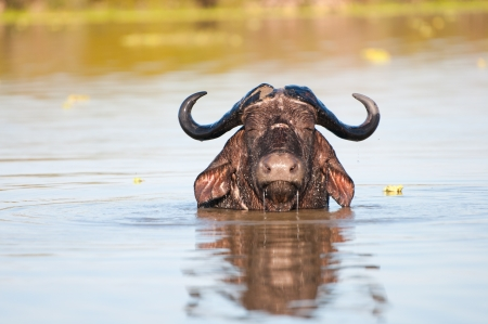 game reserve: buffalo enjoying a bath in the lake manze in tanzania - national park selous game reserve Stock Photo