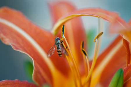 ichneumonidae: parasitic wasp collecting nectar on an orange day lily