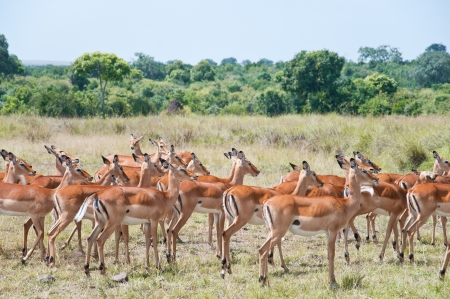 herd of impalas - national park masai mara in kenya