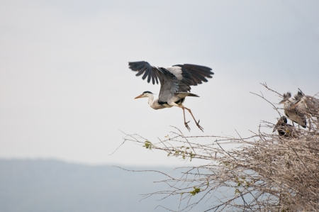 ardea cinerea: grey heron starting to fly - national park selous game reserve in tanzania