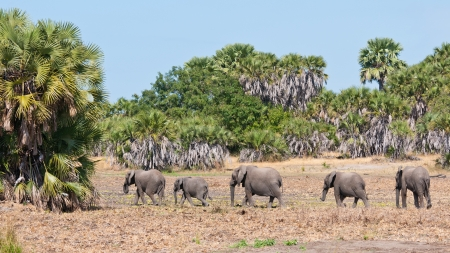 africana: family of elephants walking in the bushland of tanzania - national park selous game reserve